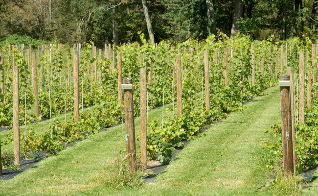 Waters-Edge-Vineyard-Weddings-Vineyard-08